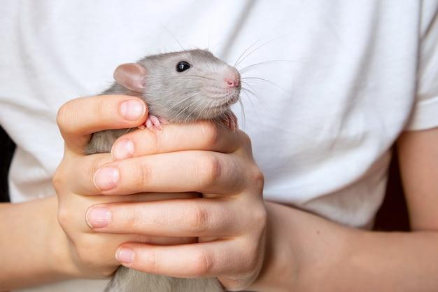 Rat in de handen van een kind