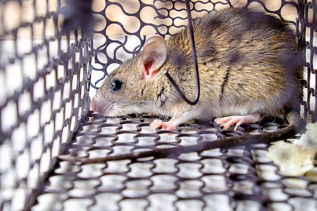 Rat in de kooi