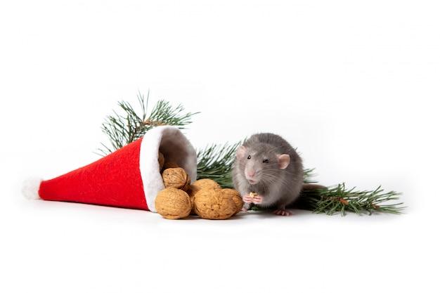 Rat knabbelt aan een walnoot in de buurt van kerstmuts en een pijnboomtak