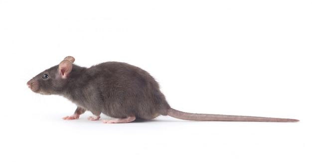 Rat op wit geïsoleerd