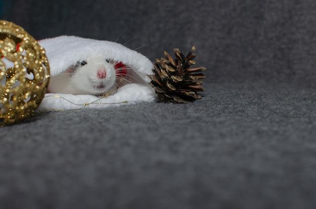 Rat verstopt in kerstmuts. nieuwjaar concept. leuke binnenlandse rat in het decor van een nieuwjaar. symbool van het jaar.