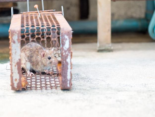 Rat zit gevangen in een valkooi of val.