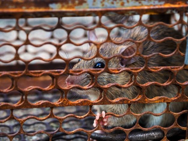 Rat zit vast in een valkooi of val.