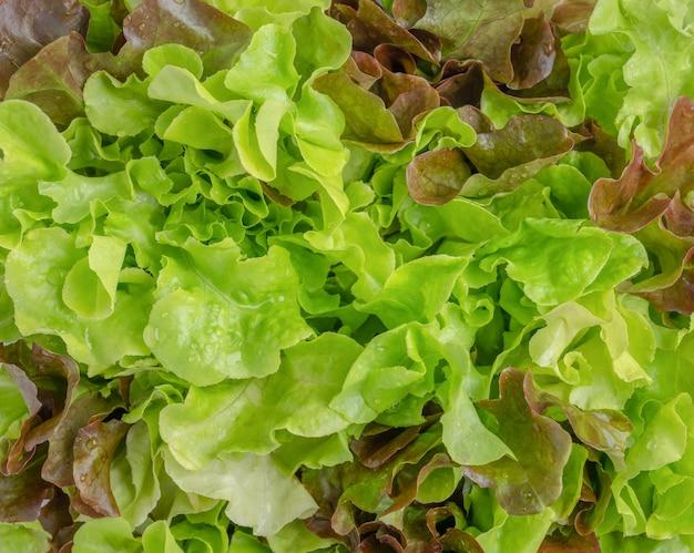 Rauwe biologische slasalade van groene eik en rode eik groeit in de tuin
