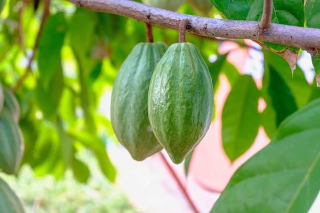 Rauwe cacao peulen en cacao fruitbomen in de cacaoplantage.