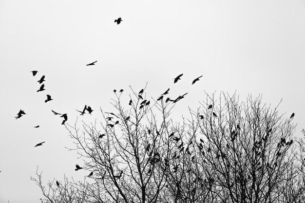 Raven vliegen en zitten over bladloze bomen