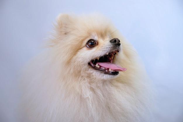 Realistisch bontportret van een pommerse hond, geïsoleerd op een lichte achtergrond.