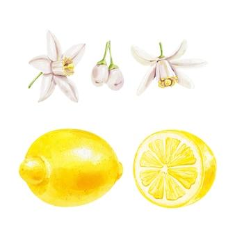 Realistische aquarel set van een citroen en citroen schijfjes bloemen op witte achtergrond