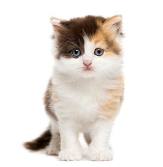 Rechte het katje van het hoogland status geïsoleerd op wit