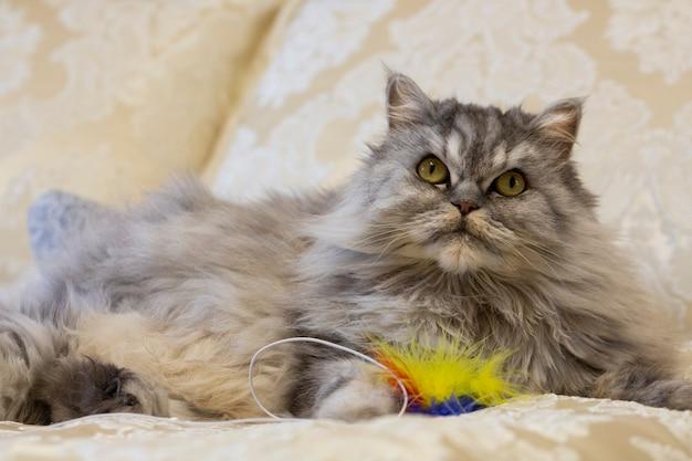 Rechte highland-kat ligt op het bed met een speeltje en kijkt op