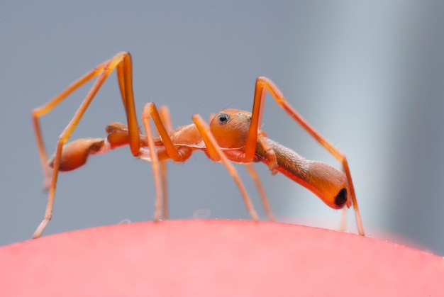Red ant mimic spider