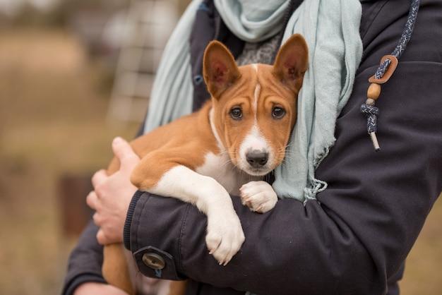 Red basenji puppy hondje zit op de handen van de eigenaar.