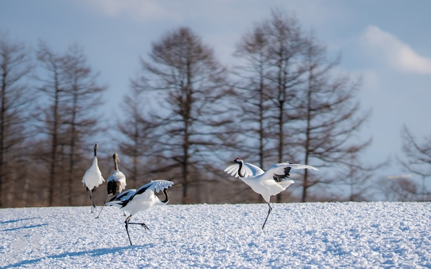 Red-crowned crane in sneeuwlandschap