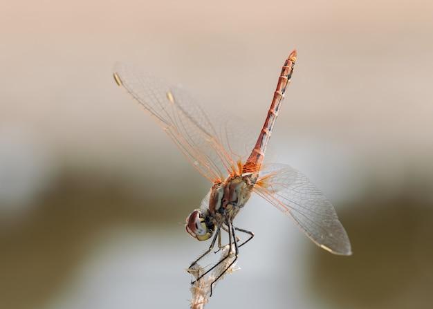 Red dragonfly gefotografeerd in hun natuurlijke omgeving.