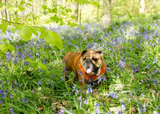 Red english british bulldog dog opzoeken, likken uit zijn tong en zitten in de boshyacinten op hete zonnige lente