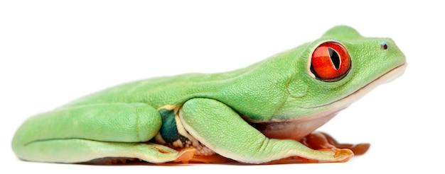 Red-eyed callefryas die van treefrog agalychnis voor witte achtergrond zit