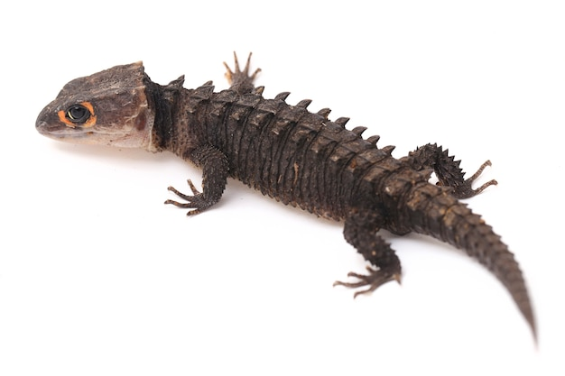 Red-eyed crocodile skinks hagedis op witte ruimte
