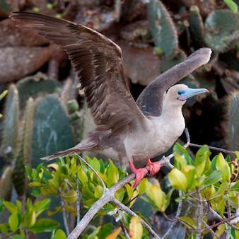 Red-footed booby (sula sula) ongeveer op te stijgen van een takje, genovesa island, galapagos eilanden, ecuador