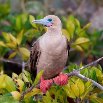 Red-footed booby (sula sula) zitstokken op een takje, genovesa island, galapagos eilanden, ecuador