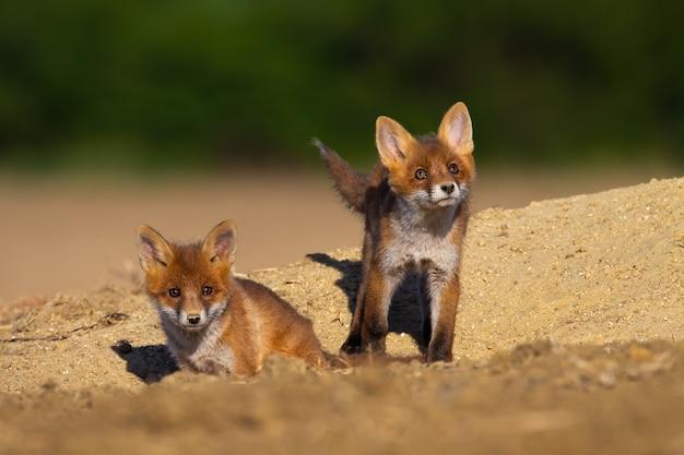 Red fox broers en zussen spelen in de buurt van den op zonnige zomeravond