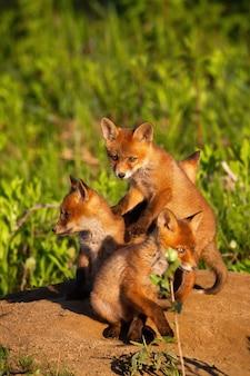 Red fox broers en zussen spelen op zand in de lente natuur