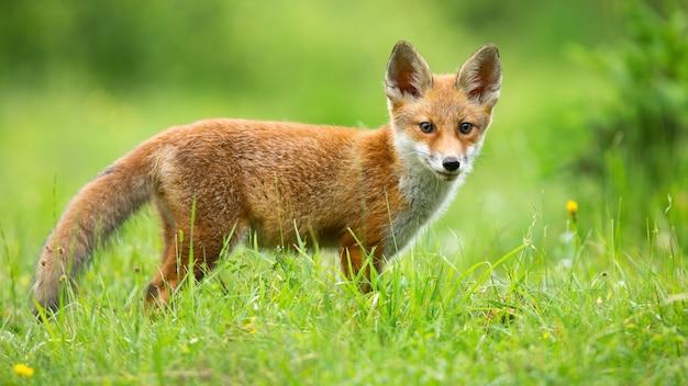 Red fox cub op zoek naar de camera op zonnige weide in de zomer