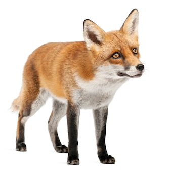 Red fox geïsoleerd op wit