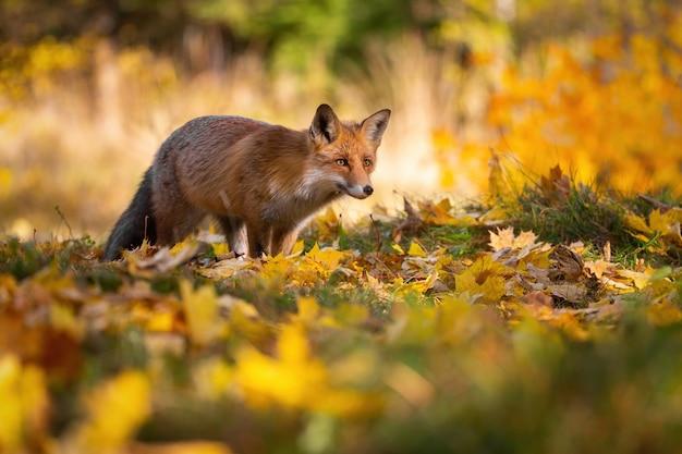 Red fox jacht in kleurrijke herfst natuur in zonlicht