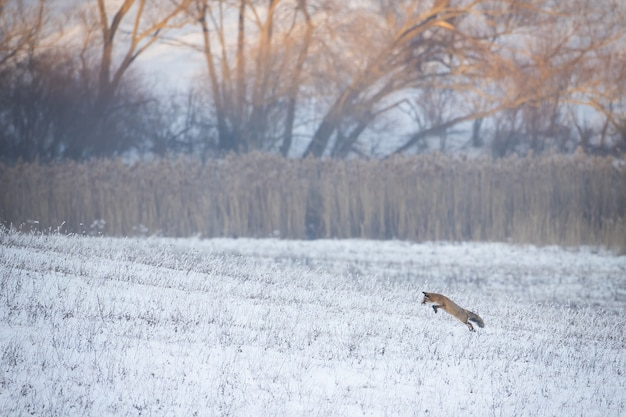 Red fox jagen in een besneeuwde weide in de winter