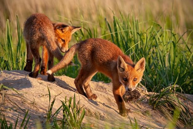 Red fox kleine jonge welpen in het voorjaar de natuur Premium Foto