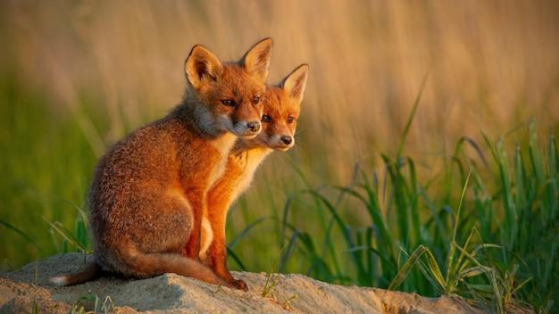 Red fox kleine welpen in de buurt van hol bij zonsondergang
