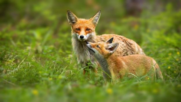 Red fox moeder en jonge welp raken met neuzen in de natuur Premium Foto