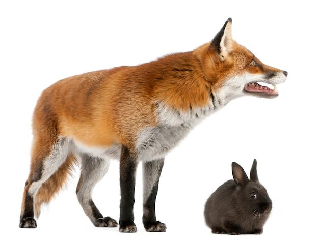 Red fox spelen met een konijn