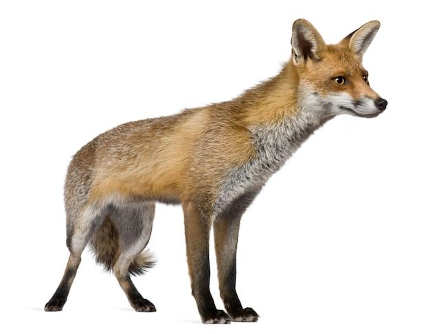 Red fox, staand