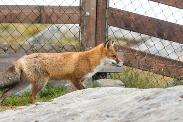 Red fox voor mesh hek met rots op de voorgrond.
