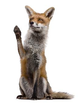 Red fox, zittend met opgeheven poot