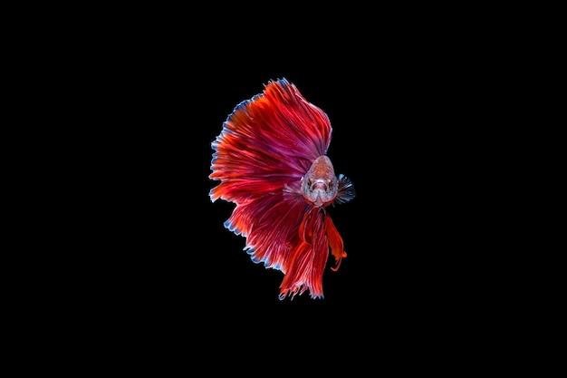 Red halfmoon betta vis dansen in het water, siamese vechten vis geïsoleerd op zwarte achtergrond. hdr verwerkt