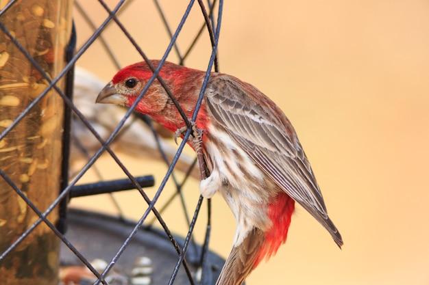 Red house finch male bird bij feeder