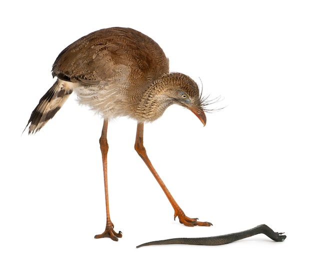 Red-legged seriema of crested cariama, cariama cristata, staande voor witte achtergrond