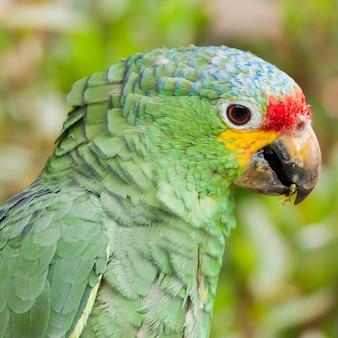 Red lored amazon-papegaai (amazona autumnalis),