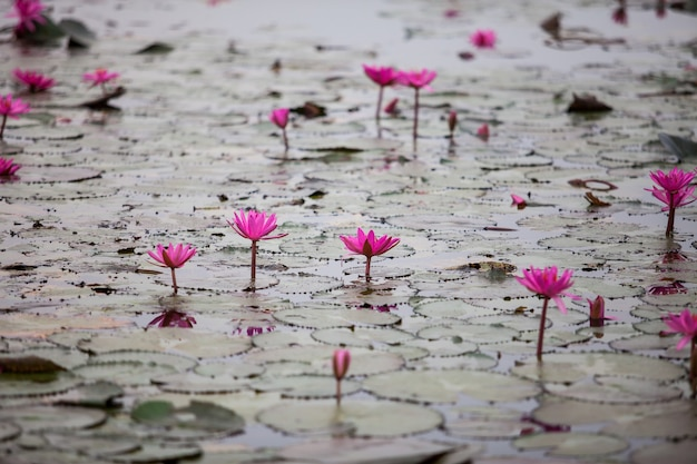 Red lotus-meer ongezien in udon thani, thailand