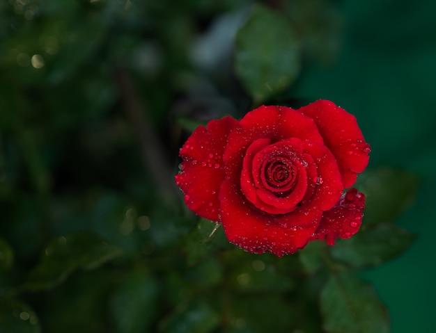 Red rose bloemen voor liefde bruiloft en valentijnsdag.