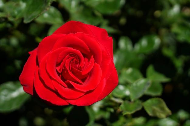 Red rose - bovenaanzicht verse enkele bloeiende bloem in de tuin - afbeelding voor valentijn liefde concept, floral achtergrond en mooie details