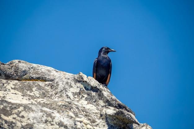 Red-winged starling zittend op de top van de tafelberg, zuid-afrika