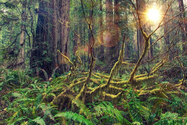 Redwood rainforest