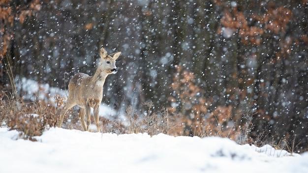 Reeën die zich in blizzard met sneeuwvlokken bevinden die in de winter vallen.