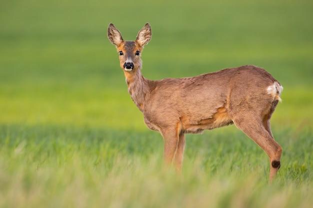 Reeën doe op zoek naar de camera op groen veld in het voorjaar