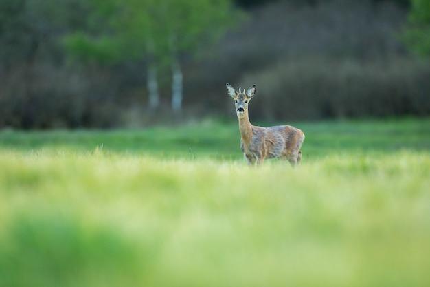Reeën in de magische natuur prachtige europese dieren in het wild wild dier in de natuur habitat
