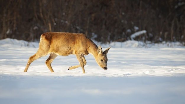 Reeën lopen op sneeuw met het hoofd naar beneden en op zoek naar voedsel in de winter