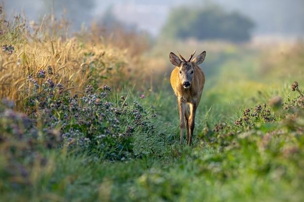 Reeënbok die langs korrelgebied lopen in de zonnige de zomerochtend.